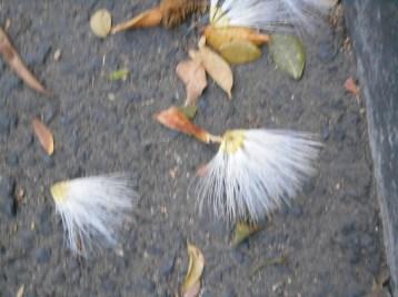 道に落ちた白花 オオベニゴウカン