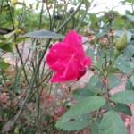 China rose コウシンバラ 原種交雑種