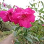 Wild rose バラ原種