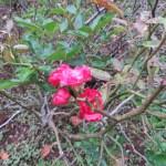 Old rose ゴールデンサーモンスペリオール