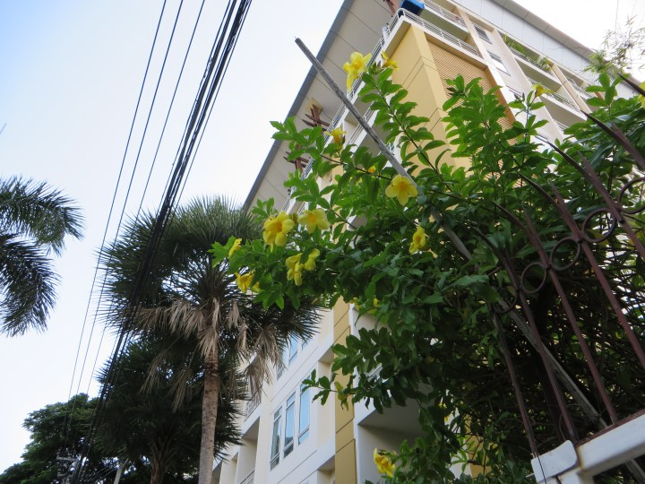 アリアケカズラ 植物全体像