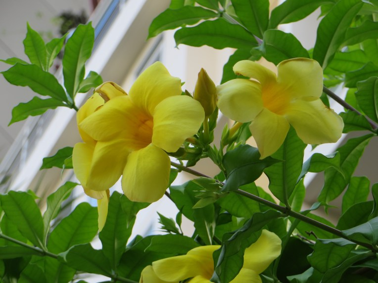 Yellow allamanda/ アリアケカズラ