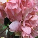 ムッサエンダ・フィリピカ ピンクの花の様子