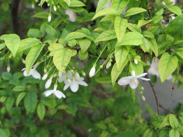 Water Jasmine/ オマツリライトノキ