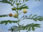 White leadtree/ ギンネム