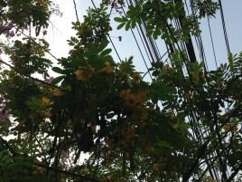 モクセンナ  花と枝を下から見た様子