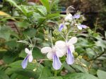 Blue Butterfly Bush/ ブルーエルフィン
