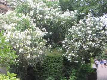 キョウチクトウ 満開の花の木の姿