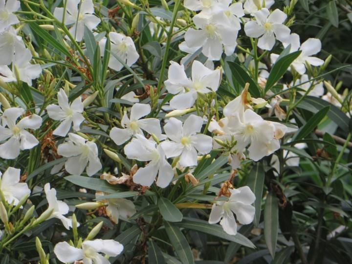 キョウチクトウ 白花の満開の姿
