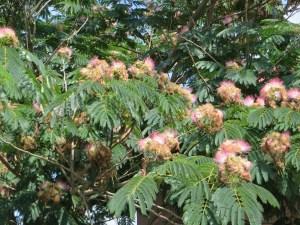 Persian silk tree/ ネムノキ