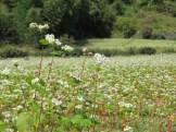 Buckwheat/ ソバ