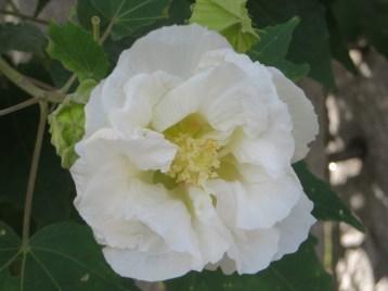 スイフヨウ 白い花のアップ