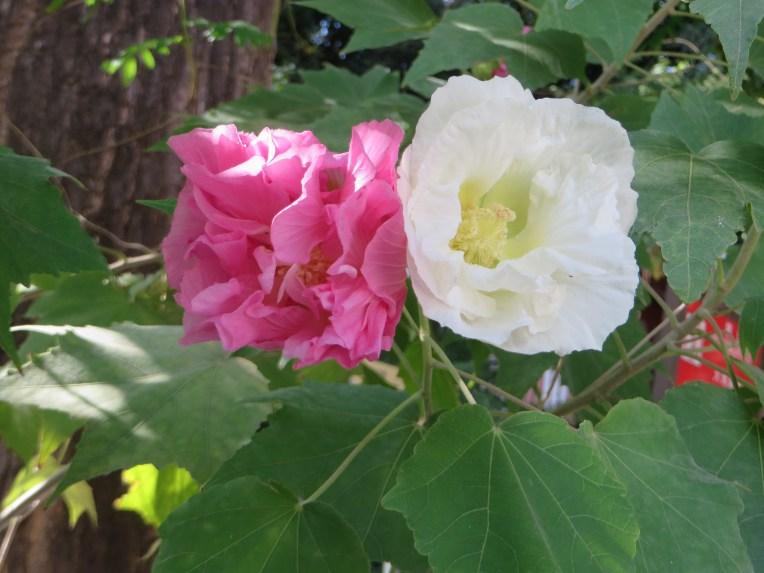 Cotton rosemallow/ スイフヨウ