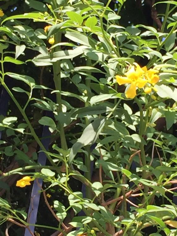 キソケイ 蔓と花