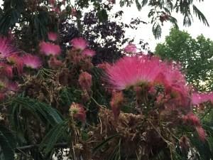 ネムノキ ピンクのきれいな花
