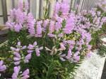 Obedient plant/ ハナトラノオ