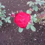 Ruby Lips ルビーリップス 系統F