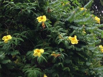 アリアケカズラ 花と枝の姿