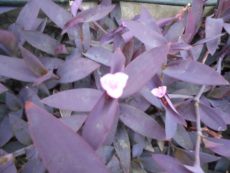 Purple-heart/ ムラサキゴテン
