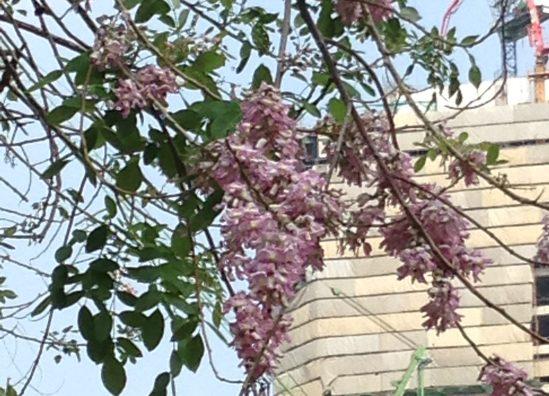 Pink shower tree/ カンラパプルック