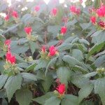 ウナズキヒメフヨウ 花と植物の姿