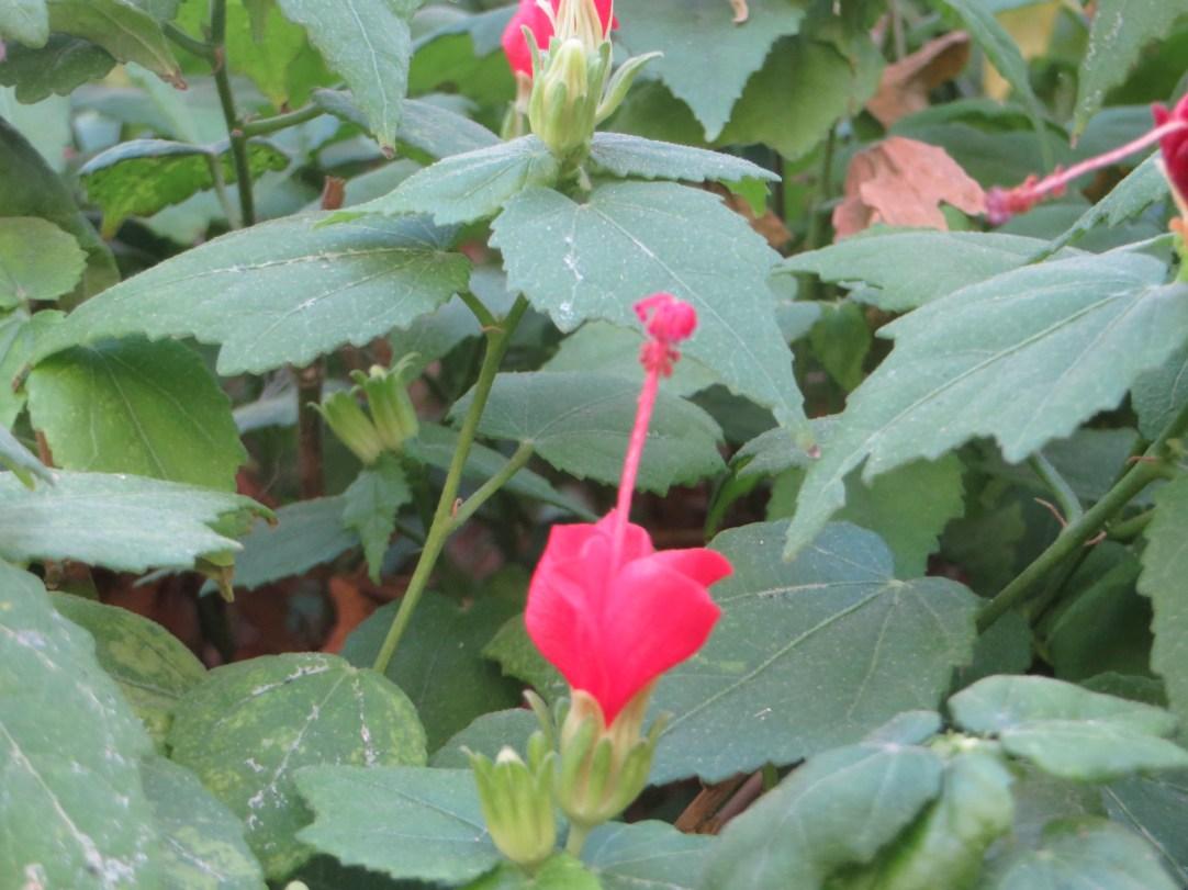 Sleeping hibiscus/ ウナズキヒメフヨウ
