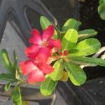 アデニウム 花のアップ