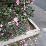 ピンクの山茶花と散った花びら