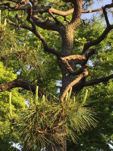枝の曲がった松(赤松)
