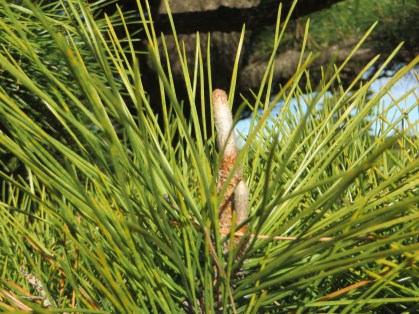 Pine/ マツ