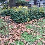 枯葉の中のツワブキ