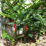 Heliconia rostrataの姿