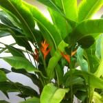 Heliconia psittacorum の遠景