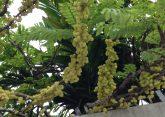 Thahitian gooseberry/ アメダマノキ