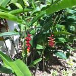 垂れ下がる Heliconia rostrata