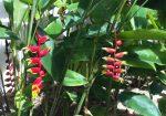Heliconia/ オウムバナ(Heliconia rostrata)