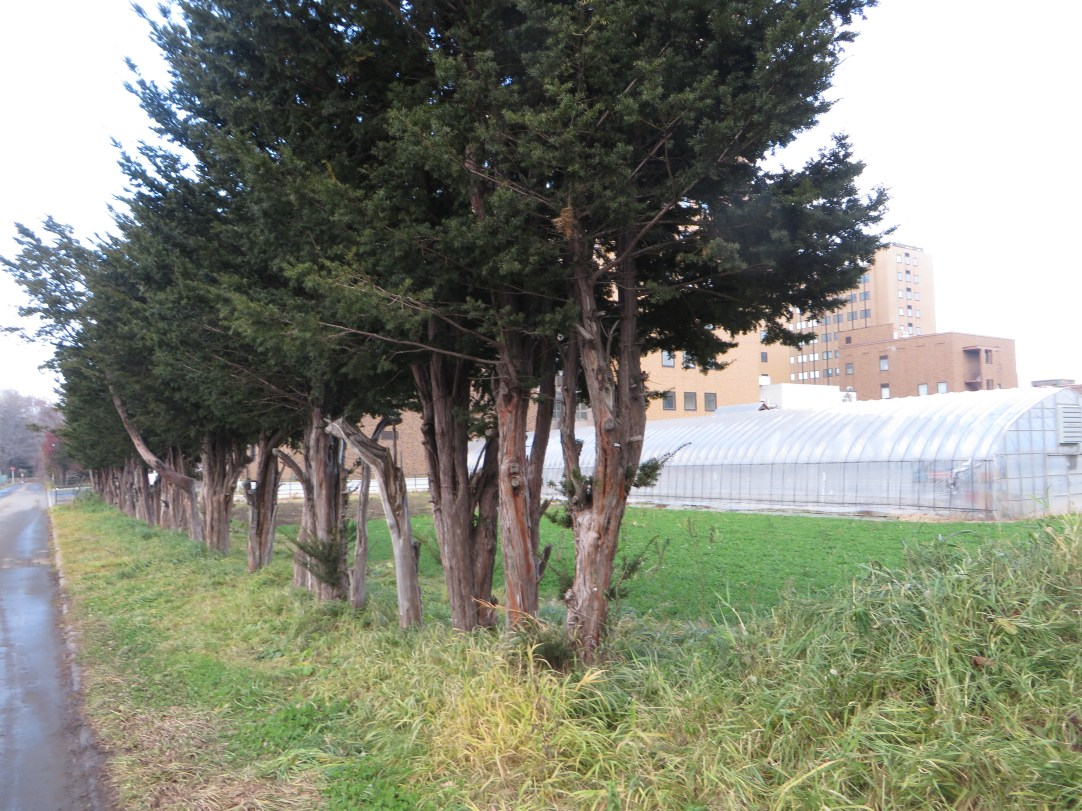 実験圃場の並木