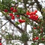 Japanese yew/ イチイ