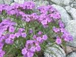 Dianthus shinanensis/ シナノナデシコ