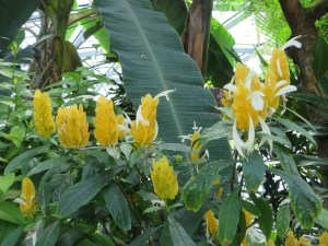 ウコンサンゴバナ 白い花を出した姿