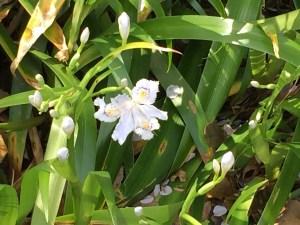 シャガ 花の様子