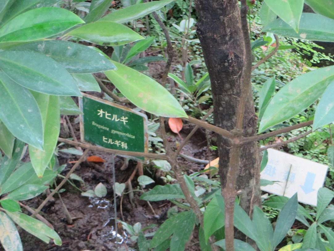 オヒルギ 標識と根元の様子