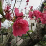モモ やや赤みの強い花のアップ
