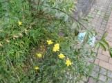オウバイモドキ 植物の姿