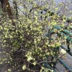ヒュウガミズキ 木の姿