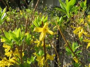 レンギョウ 花のアップ