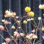 ミツマタ 赤花と黄花が混じって咲いている様子