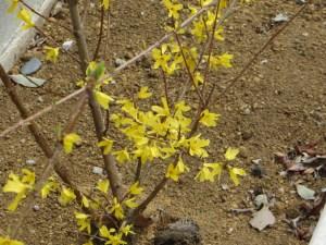 チョウセンレンギョウ 花が先に出て咲いている様子