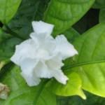 ヤエサンユウカの花