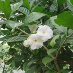サンユウカ 花の姿
